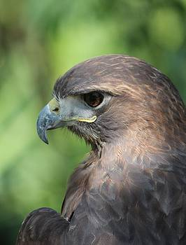 Hawk Profile by Alexander Spahn