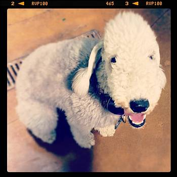 He Looks Like A Sheep! Lol 🐶 by Nena Alvarez