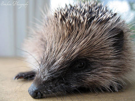 Rachael Shaw - Hedgehog Head Shot