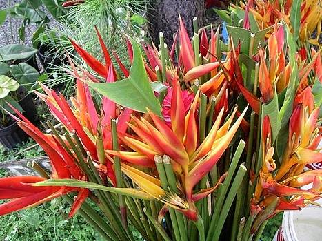Heliconia Blooms by Monica Cranswick