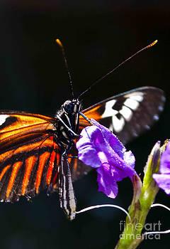 Heliconius with purple flower by Brenda Gutierrez Moreno