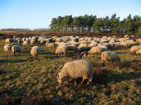 Herd of sheep and one goat by Leontine Vandermeer