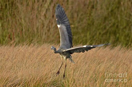Doug Thwaites - Heron 1