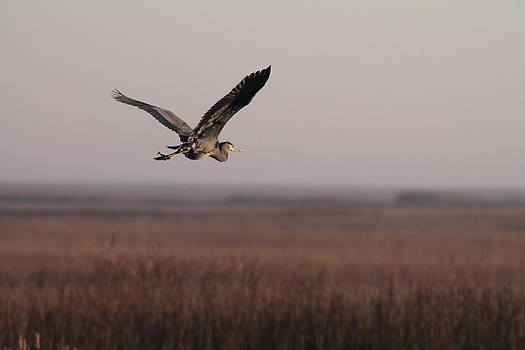 Heron on the Move  by Glenn Lawrence