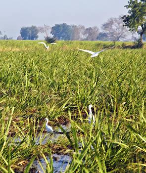 Kantilal Patel - Herons Sugar Cane