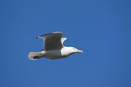 Howard Kennedy - Herring Gull in flight