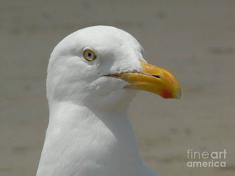 Christine Stack - Herring Gull Portrait