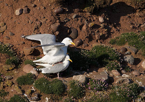 Howard Kennedy - Herring Gulls mating