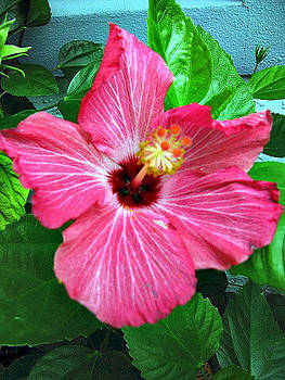 Hibiscus Bloom by Anita Stewart