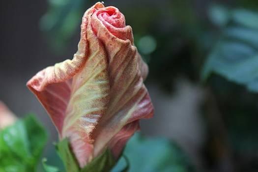 Hibiscus Bud by Bridget Finn