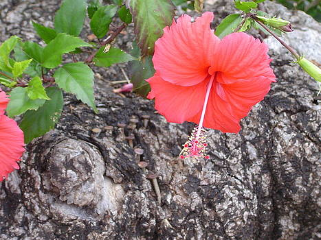 Hibiscus Flower by Pat Archer