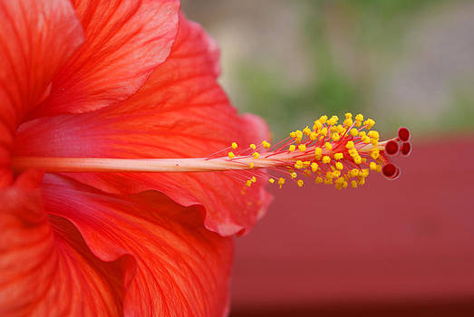 Hibiscus by Karen Puckett