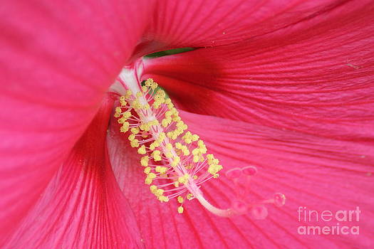 Hibiscus by Ralph Hecht