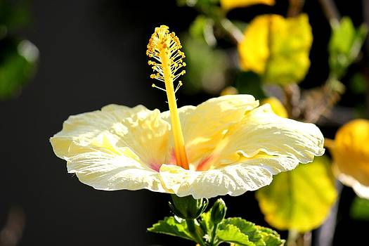 Hibiscus Rising by Leigh Meredith