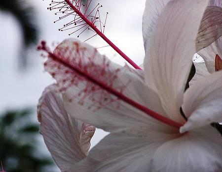 Hibiscus by Terri Erwin