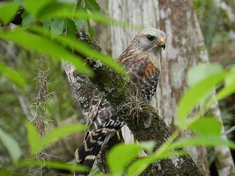 Hidden Hawk by Amber Bobbitt
