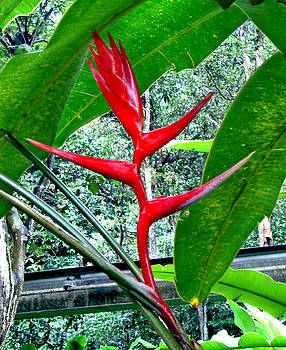 Roy Foos - Hidden Jewel Bird Of Paradise