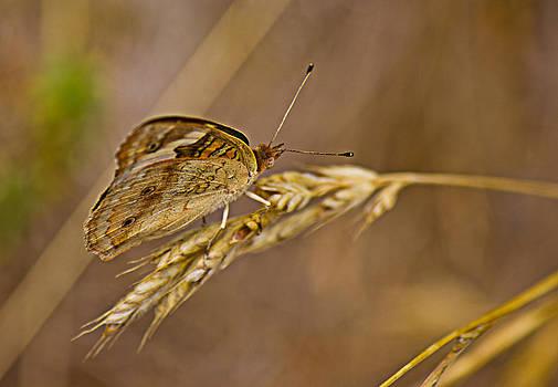 Barry Jones - Hiding in the Wheat