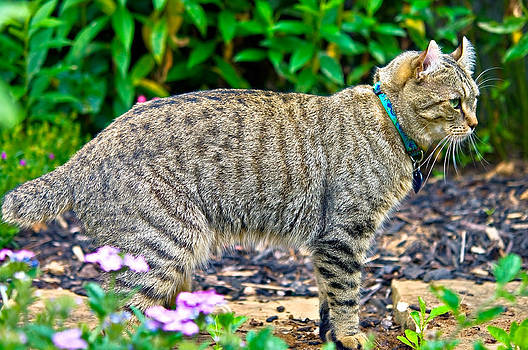 Highland Lynx Cat in Garden by Susan Leggett