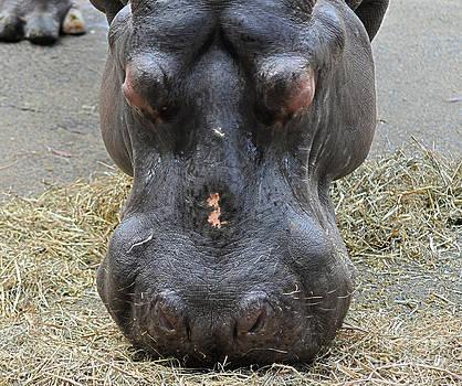 Hippopotamus head by Joanne Kocwin