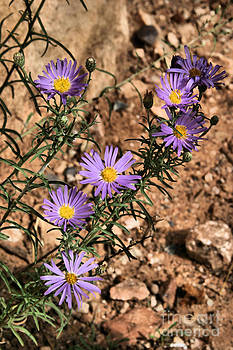 Hoary Tansy-Aster by Donald Tusa
