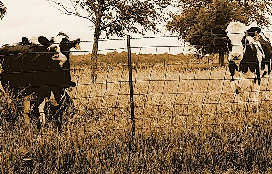 Holstein Calves in Sepia by Jennifer Choate