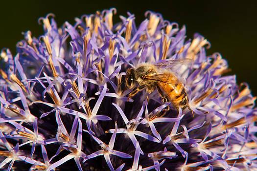 Matt Dobson - Honey Bee