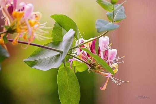 Honey Suckle flower by Shehan Wicks