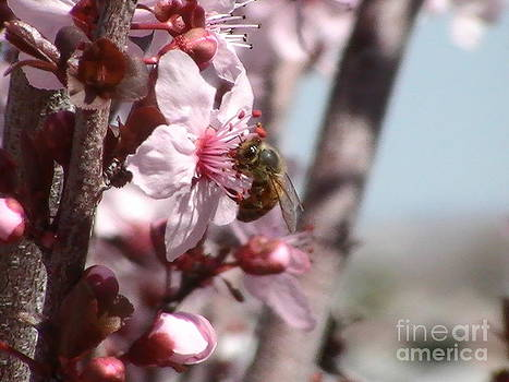 honeybee in a Plum tree 2 by Victor Rodriguez