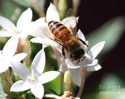 Honeybee on Penta by Theresa Willingham