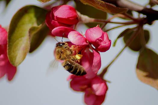 Honeybee pollinating by Ralph Hecht
