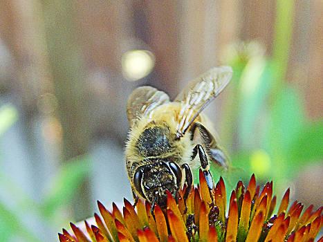 Honeybee by Robin Hewitt