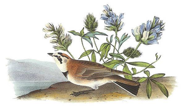 John James Audubon - Horned Lark
