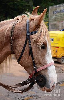 Horse Head by Jiss Joseph