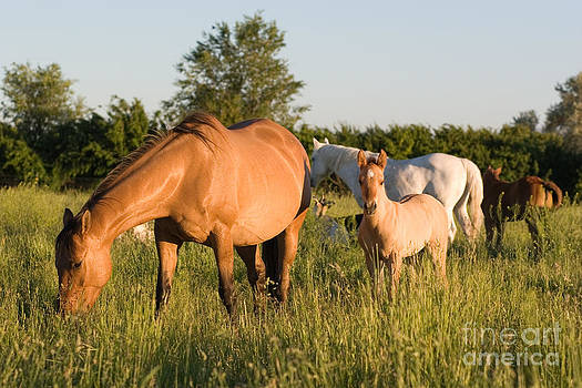 Cindy Singleton - Horses in Green Grassy Pasture