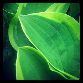 Hostas Leaves by Christy Bruna