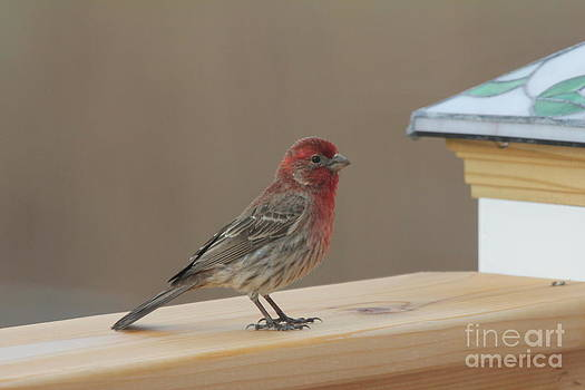 House Finch by Scenesational Photos