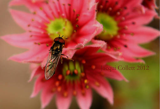 Hover Fly II by Jacqui Collett