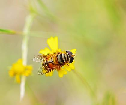 Billy  Griffis Jr - Hover Fly on A Flower