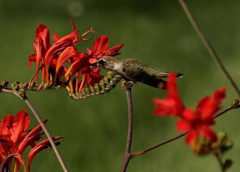 Humming Bird by Mac Booey