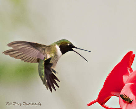 Hummingbird attacking bee by Bill Perry