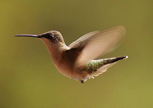 Hummingbird by Frank Rulik