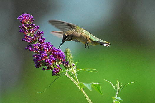 Hummingbird I by Curtis Brackett