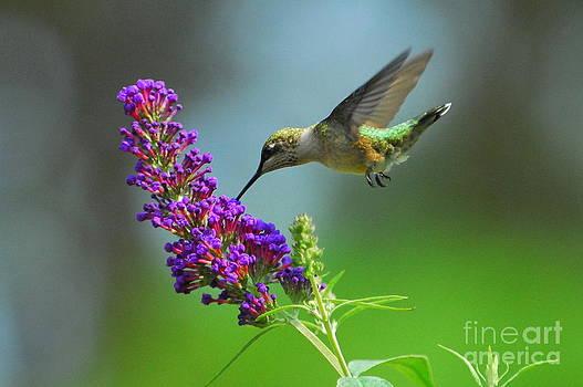 Hummingbird III by Curtis Brackett