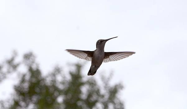 HummingBird In Flight by Sharon Spade - Kingsbury