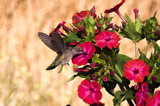Chris Fullmer - Hummingbird in Red Flower 1