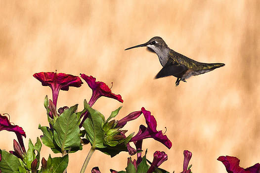 Chris Fullmer - Hummingbird in Red Flower 2
