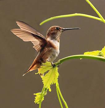 Hummingbird by Judith Szantyr