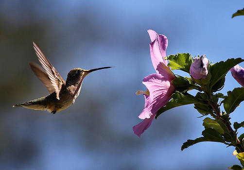 Karen Scovill - Hummingbird