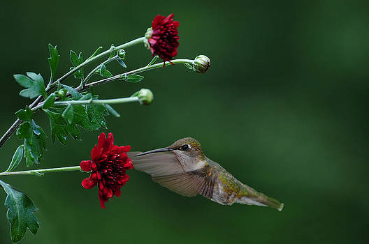 Hummingbird by Roger Phipps